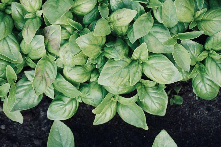 Basil in garden