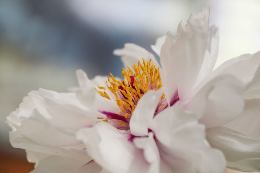 Beauty In Nature Blooming Close-up Day Flower Flower Head Fragility Freshness Growth Nature No People Outdoors Paeonia Suffruticosa Peony  Peony Flower Petal Plant Pollination Selective Focus Stamens