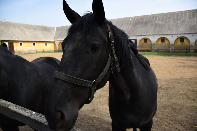 Portrait of a beautiful hungarian gidran horse in an open, outside barn