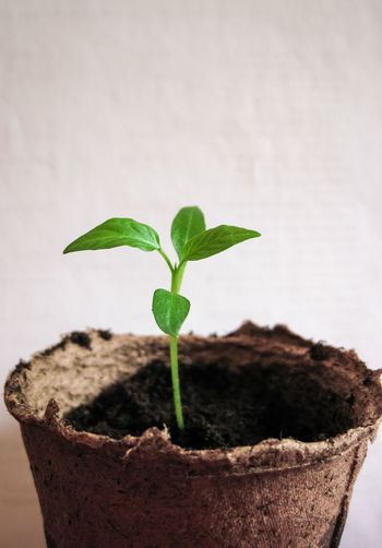 Sprouts Young peppers Close-up indoors Pepper, Chili, Orange, Food, Photo, Thailand, Asia, Close-up Day Deadpan Carved In The Face Green Color Indoors  Leaf Nature New Life No People Plant Planting Potted Plant Sprout, Sprouts, Scissors With Drops Of Water Unfiltered Young Plant