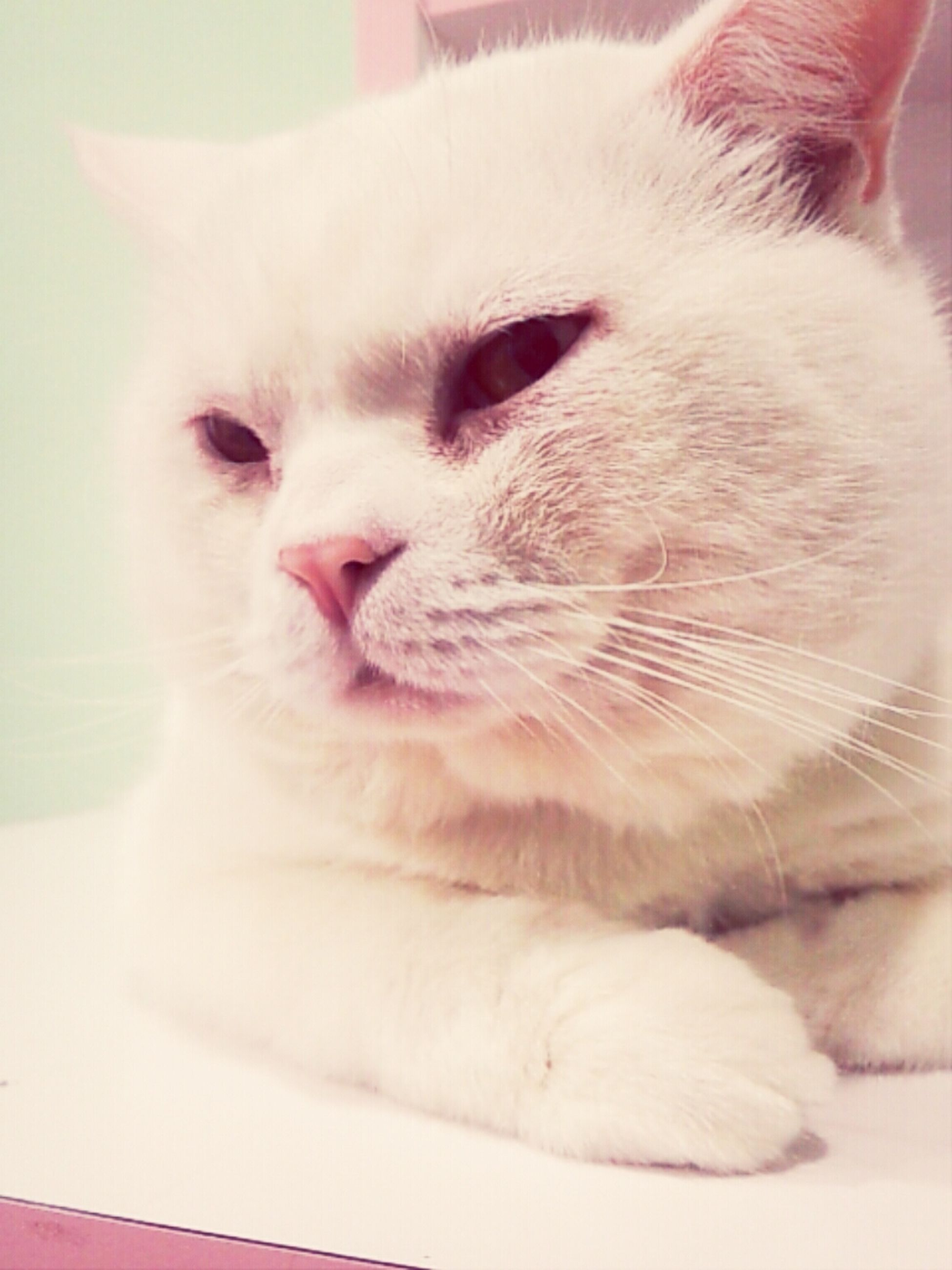 domestic animals, pets, domestic cat, cat, animal themes, one animal, mammal, indoors, feline, whisker, close-up, animal head, home interior, focus on foreground, white color, no people, portrait, relaxation, looking at camera, animal body part
