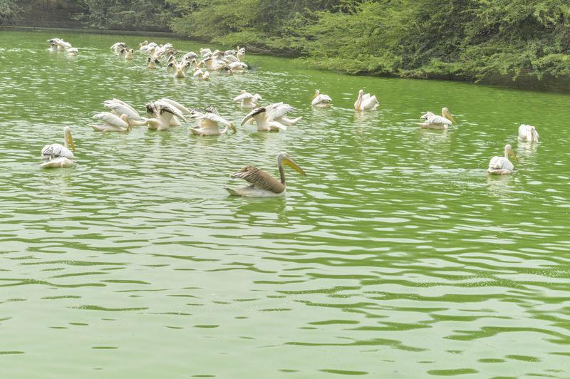 Flock of seagulls in lake
