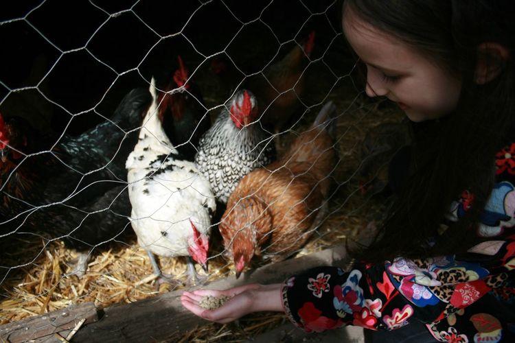 Girl feeding hen at farm