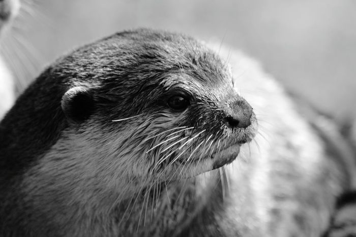 EyeEm Best Shots - Black + White Black And White Black And White Photography Wildlife Photography Otters Wildlife_perfection Animal Photography EyeEm Animal Lover Animal_collection Eye