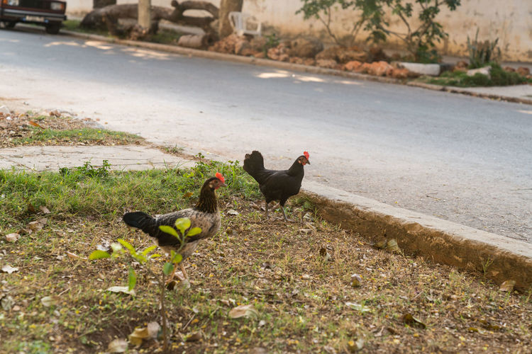 Chickens in Vedado Animal Themes Animals In The Wild Bird Cuba Day Domestic Animals Grass Havana Havana Cuba Nature No People Outdoors Street Street Photography Streetphotography