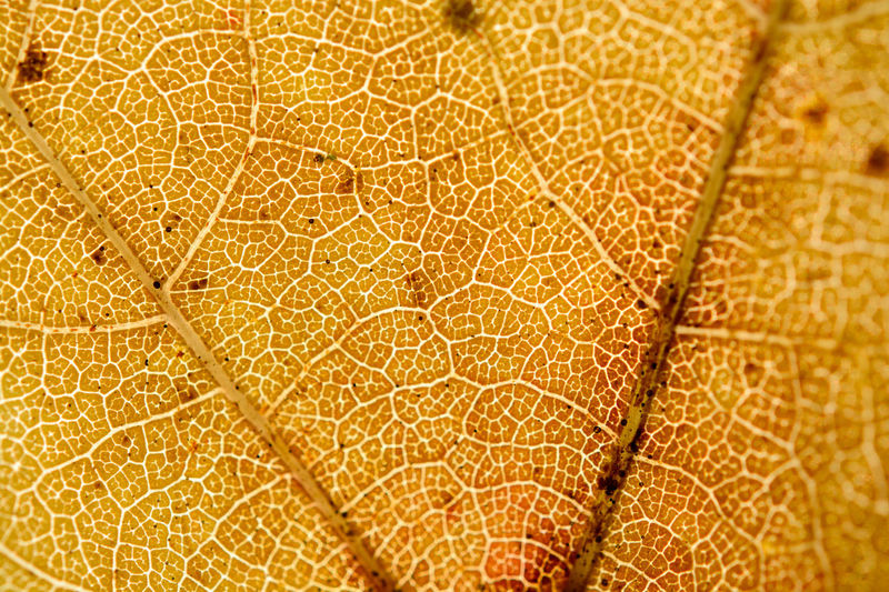 Vein of maple leaf with macro in front of sun Backgrounds Close-up Day Full Frame Leaf Macro Maple Maple Leaf Nature No People Outdoors Pattern Textured  Vein Veins In Leaves Paint The Town Yellow