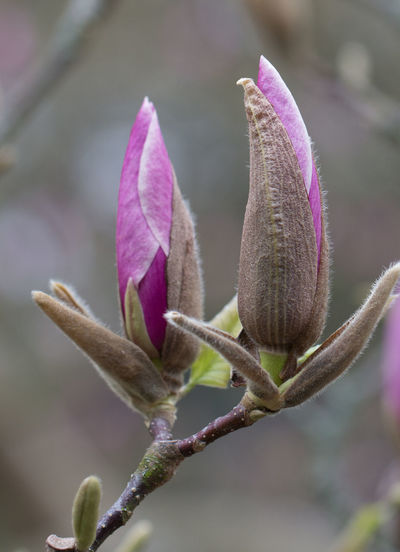 Plant Flowering Plant Flower Growth Vulnerability  Close-up Fragility Beauty In Nature Nature Freshness Focus On Foreground Petal No People Purple Day Inflorescence Beginnings Bud Flower Head Outdoors Springtime Magnolia