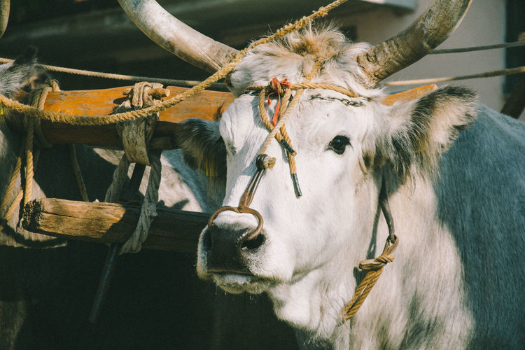 Close-up of ox and cart