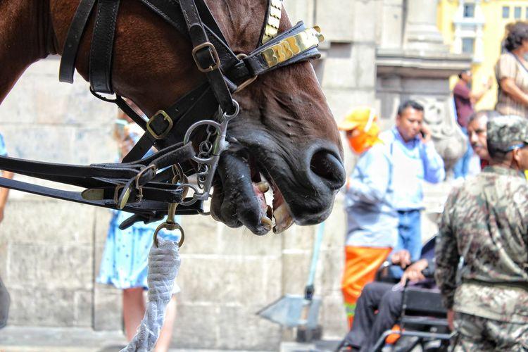 horse teeth Teeths Men Standing Horse