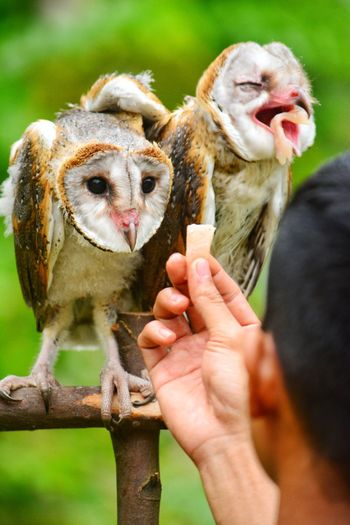 Close-up of man feeding meat to owls