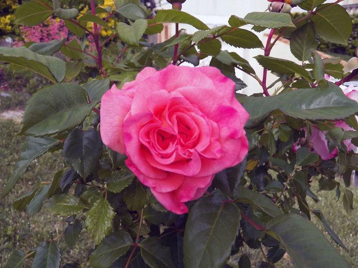 One Rose In The Rosebush Pink Color Pink Textured Rose Flower