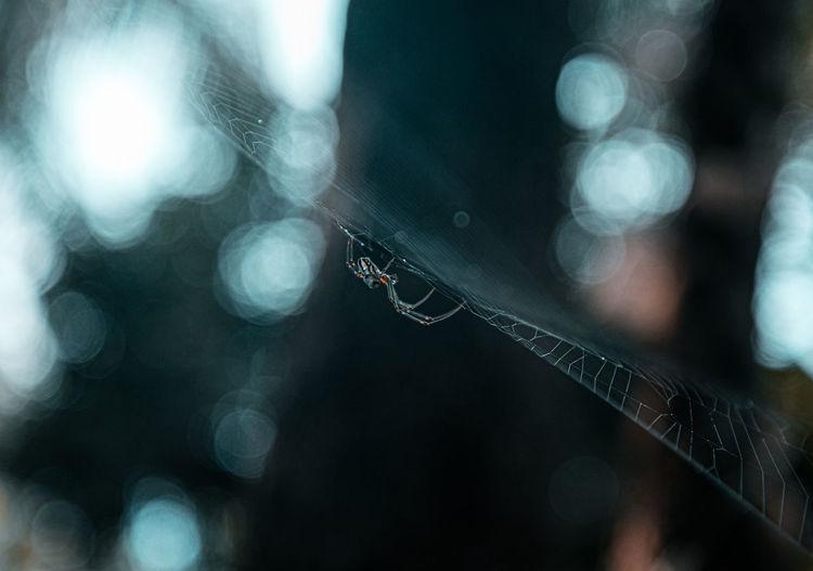 Close-up of spider weaver. golden orb spider