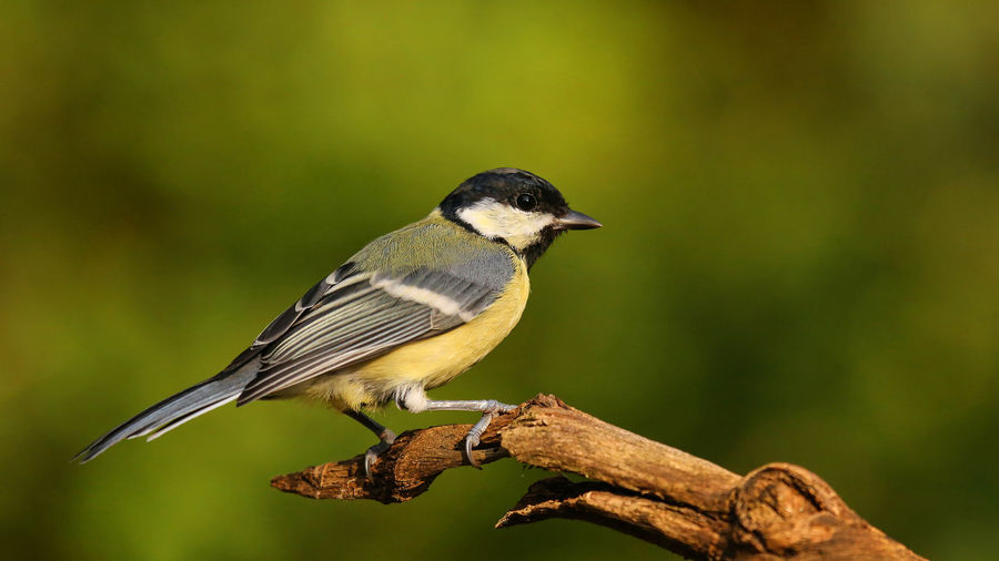 Close-up of great tit perching on twig