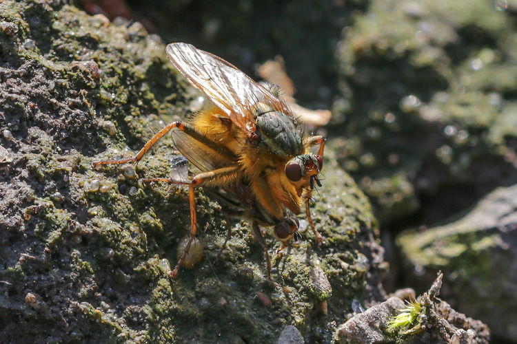 Gelbe Dungfliege Gelbe Dungfliege Scathophaga Stercoraria Dungfliegen Scathophaga Fliegen Scathophagidae Brachycera Diptera Zweiflügler Dungfly Yellow Dung Fly Golden Dung Fly Common Yellow Dung-fly Musca Merdaria Musca Stercoraria Animal Wildlife Animals In The Wild Animal Insect Animal Themes One Animal Close-up Nature Outdoors Day