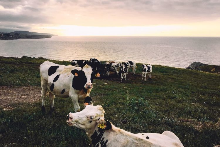 Cows at beach against sky during sunset
