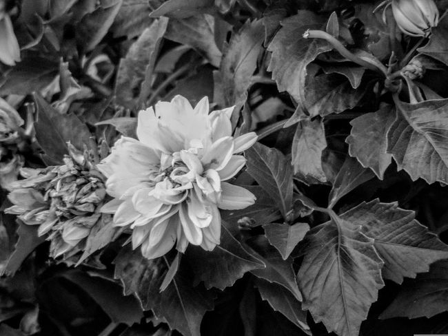 Chromo floral garden Flower Nature Beauty In Nature Flower Head Fragility Close-up No People Outdoors Plant Day Freshness Black And White Blossom Blooms And Buds