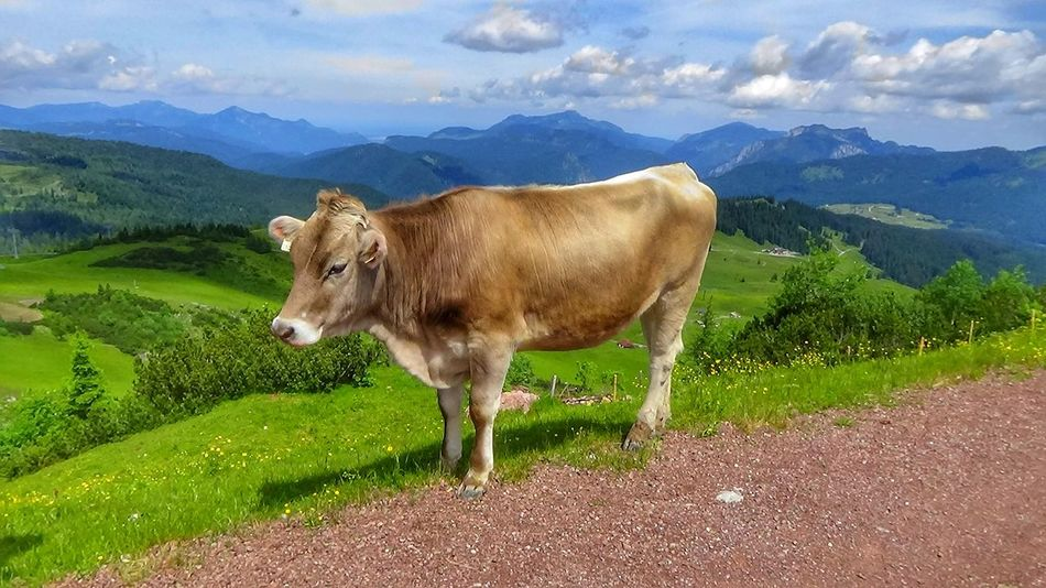 Alm Alpen Alps Aussicht Austria Beautiful Beautiful Nature Berge Cow Domestic Animals Green Color HDR Hdr Edit Hdr_Collection Kuh Landscape Landscape_Collection Landschaft Mountain Mountains One Animal Steinplatte Travel Traveling Wandern