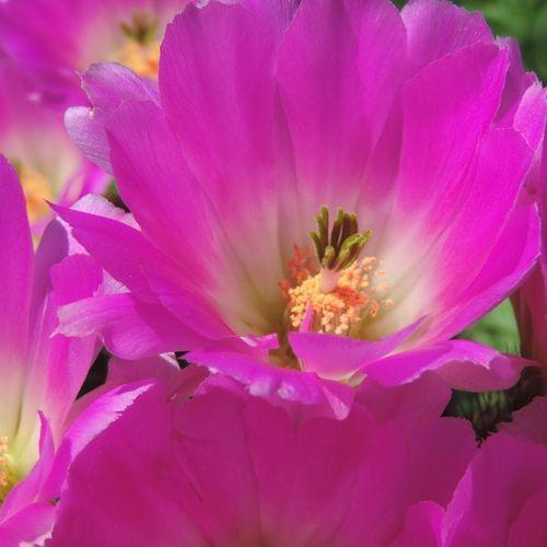 Y en mis sueños tú eres una flor entre mil ramas secas.. Cactus Florecido