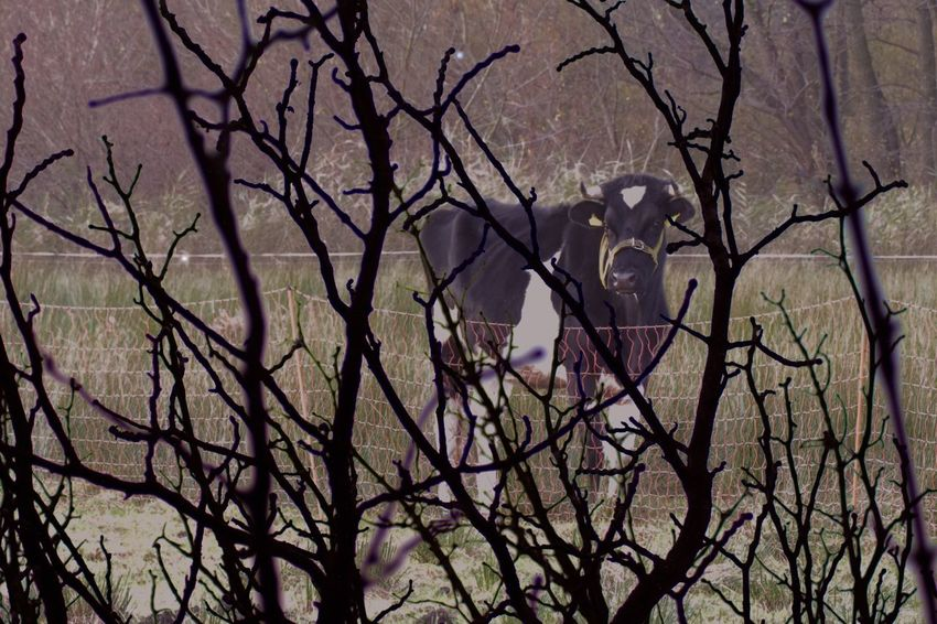 Ranch Bull Cow Branch Bare Tree Tree Nature Beauty In Nature Outdoors No People Day Freshness Close-up