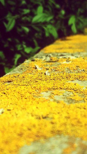 Mauer Gelb Grün Blätter Stein Stone Yellow Green Wall Cracks Naturefightsback