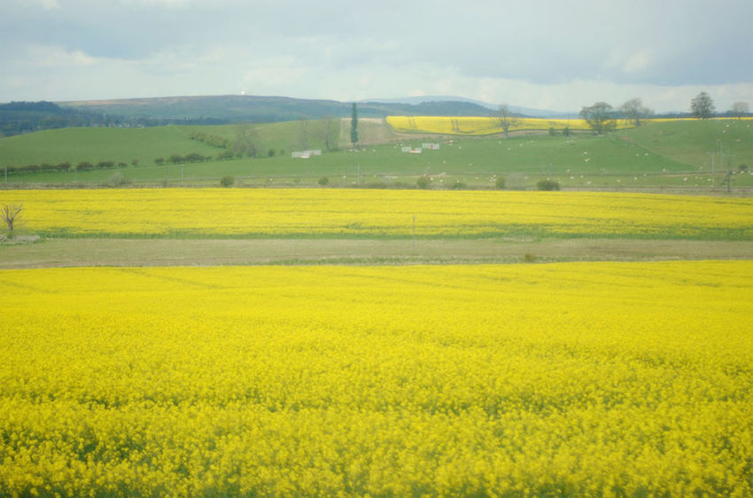 Agriculture Beauty In Nature British Cloud - Sky Cultivated Land Day English Countryside Field Flower Freshness Horizon Over Land Landscape Nature Nature Nature Photography No People Outdoors Rural Scene Scenics Sky Spring Springtime Tranquil Scene Yellow