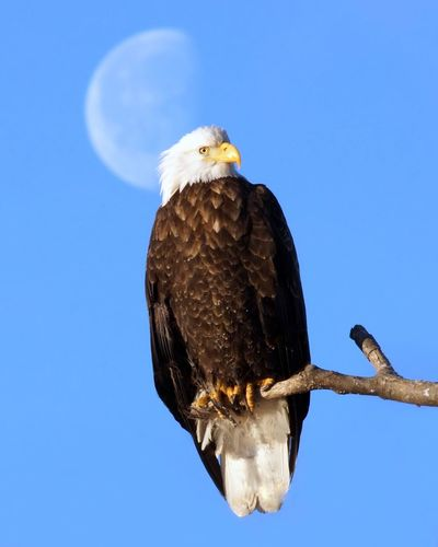 Eagle with moon backdrop Animals In The Wild Bird Bird Of Prey Eagle Low Angle View Moon No People One Animal Perching Wildlife First Eyeem Photo