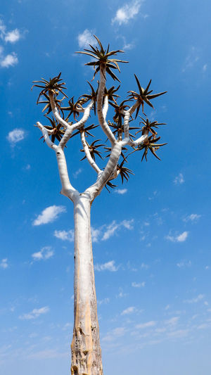 Looking up a Quivertree Blue Blue Sky Quivertree  Outdoors Tree Lonely Tree Isolated Sky Clear Sky Clouds And Sky