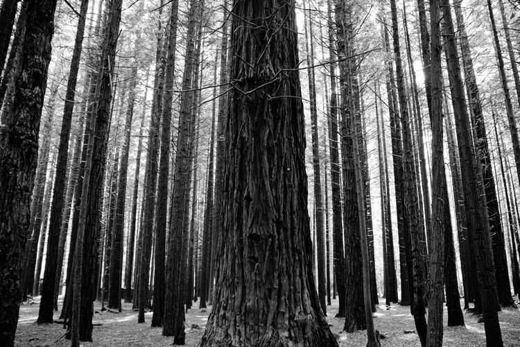 Forest Tree Trees Black & White