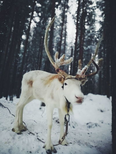 Snow Reindeer Winter Deer Animal Wildlife Animals In The Wild Cold Temperature Stag Moose One Animal Outdoors No People Nature Mammal Snowing Day Tree Christmas Time! Scenics Travel Destinations Storforsen, North Of Sweden