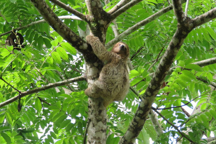 bradipo Koala