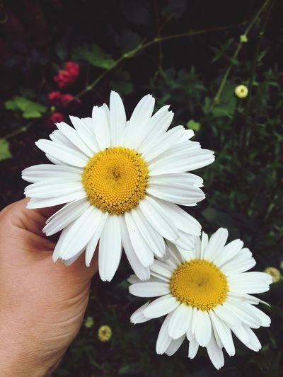 Flower Human Hand Petal Freshness Yellow Flower Head