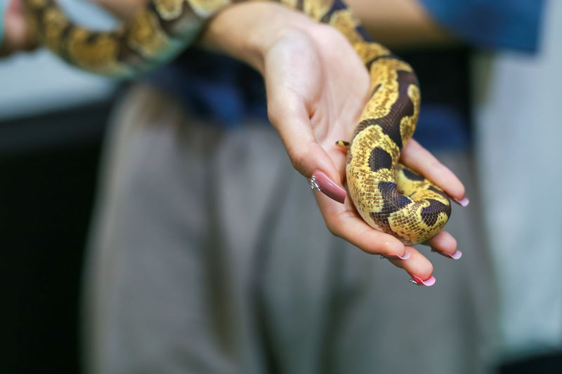 Close-up of a small boa snake with a beautiful pattern in the hand of a woman, tame and cute, can be