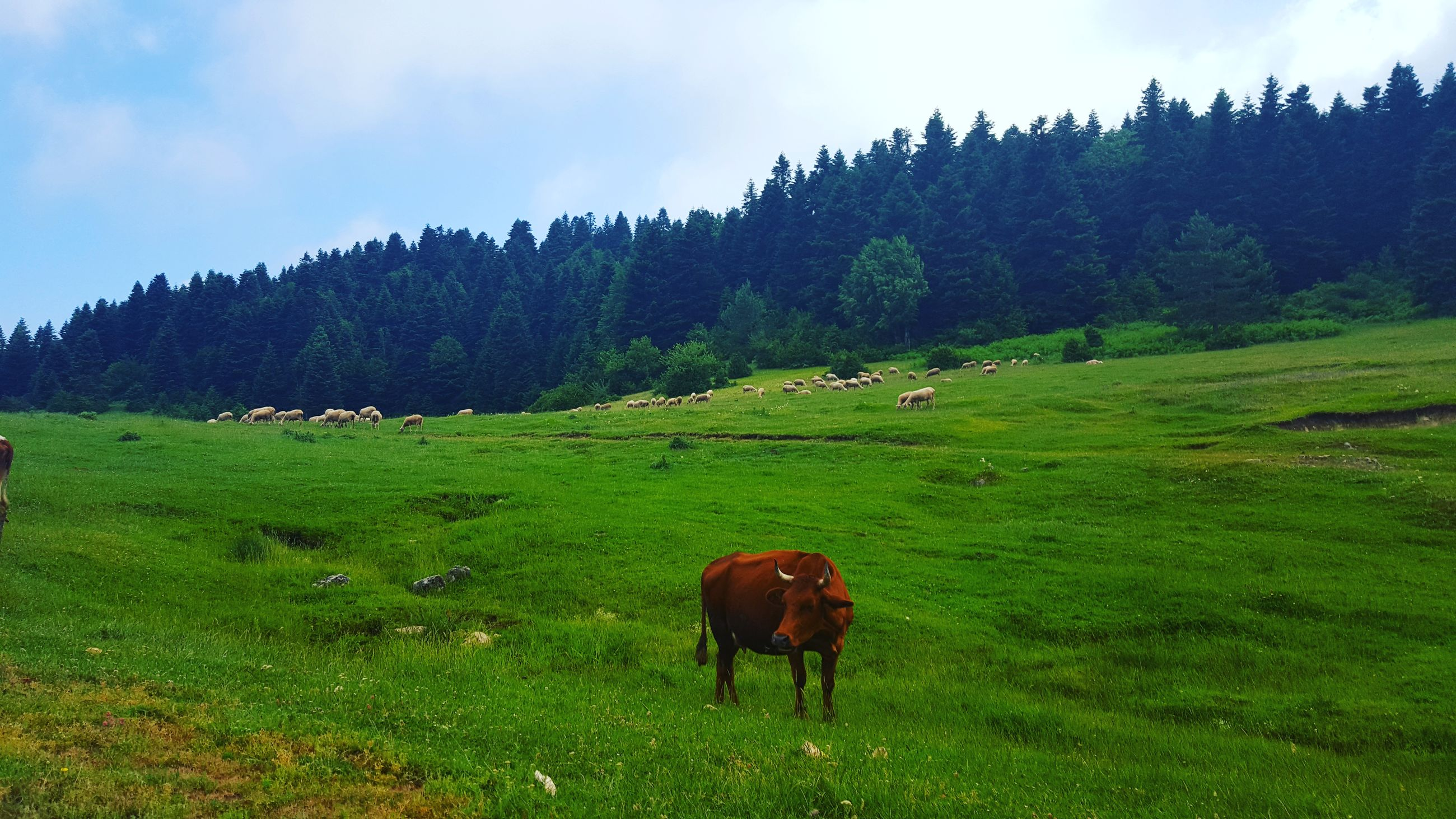 animal themes, grass, livestock, grazing, domestic animals, field, landscape, mammal, horse, green color, grassy, sky, nature, herbivorous, tranquil scene, tranquility, cow, beauty in nature, pasture