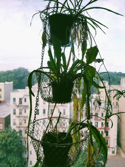 From a little airbnb in Brooklyn🏙 Hanging Plant Flowers Cactus Fluorescent Cacti Plants Greenhouse NY NYC Houseplants Urbanjungle Plantlovers Greenery Plantlove Brooklyn Aesthetic Tree Sky Architecture Close-up Plant Plant Nursery Potted Plant