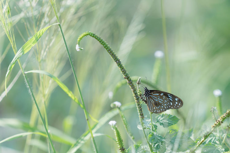 Animal Wildlife One Animal Animals In The Wild Animal Animal Themes Plant Invertebrate Insect Beauty In Nature Growth Animal Wing Green Color Nature Focus On Foreground Day No People Butterfly - Insect Close-up Outdoors Selective Focus Butterfly Pollination Blade Of Grass