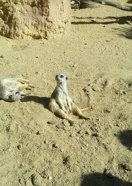Suricata Hakunamatata Timon And Pumba Relaxing Inthezoo Nature
