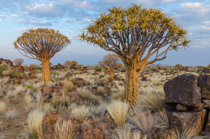 Quiver Tree Quivertree Forest Namibia Nature Africa Landscape African Quivertree