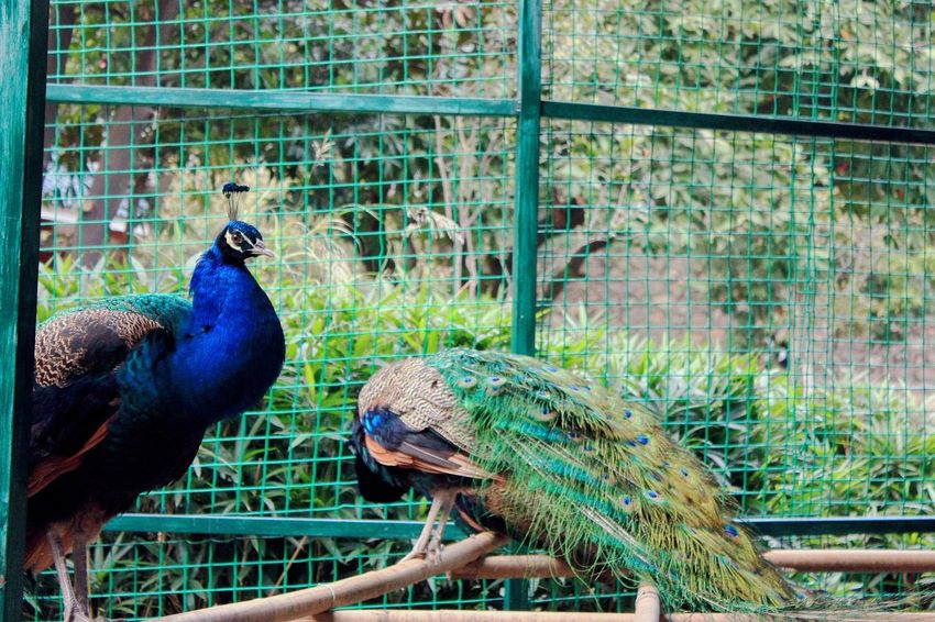 Bird Animal Themes Peacock Cage Nature Animal Wildlife Animals In The Wild Blue No People Day Perching Feather  Beauty In Nature Outdoors One Animal Domestic Animals Close-up Multi Colored Peacock Feather Parrot Zoo