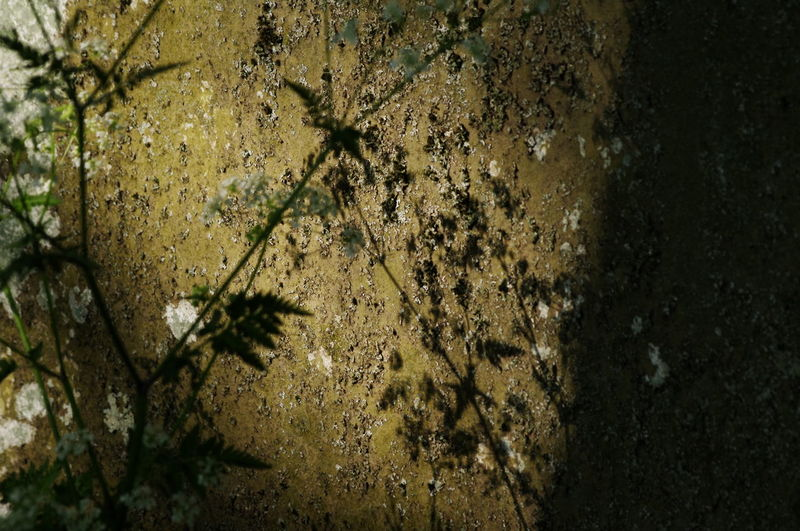 Backgrounds Beauty In Nature Close-up Cow Parsley Day Evening Light Full Frame Gravestone Growing Growth Lichen Light And Shadow Nature No People Outdoors Plant Plant Shadow Rough Texture Shadows Stonework Sunlight And Shadow Tranquility Natures Diversities Fine Art Photography