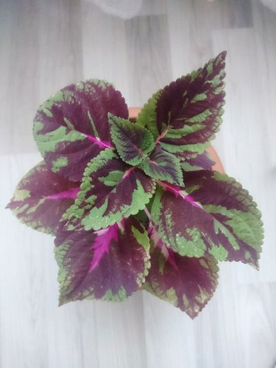 Flower Plant No People Leaf Indoors  Flower Head Beauty In Nature Freshness Coleus Flowers Flowers,Plants & Garden Flowers In My Garden Flower Collection Nature Photography Flowerlovers Growth Green Color Colors