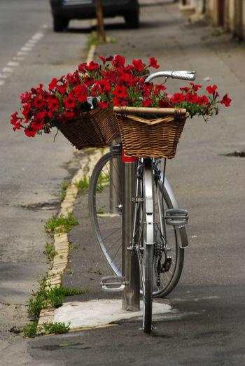 View of red flowering plant in basket on street