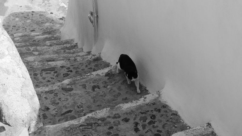 Animal Themes Animals In The Wild Beach Cat Day Domestic Animals Gato Grecia Greece High Angle View Livestock Mammal Nature No People One Animal Outdoors Santorini, Greece Welcome To Black The Street Photographer - 2018 EyeEm Awards The Traveler - 2018 EyeEm Awards