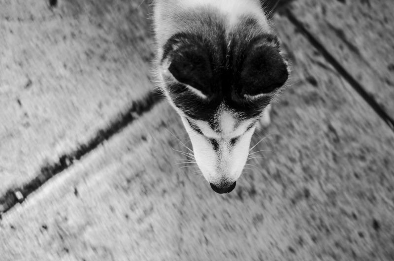 Siberia, Russia Siberian Husky Animal Themes Close-up Day Dog Dog Love Domestic Animals Domestic Cat Feline Mammal Nature No People One Animal Outdoors Pets