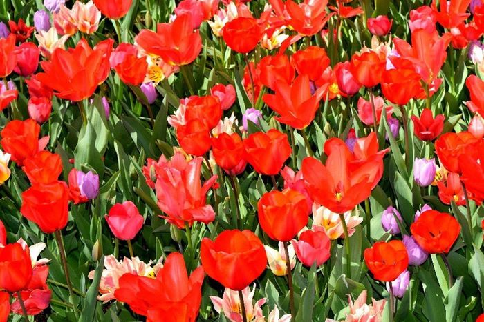 Spring Into Spring The Time Is Not Now, It's Right Now The Pursuit Of Happiness Tulips