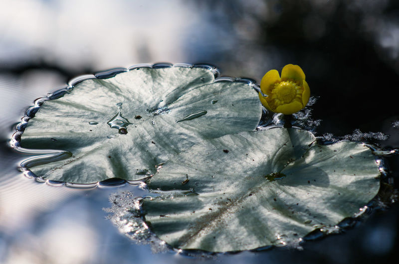 Beauty In Nature Blooming Close-up Day Flower Flower Head Fragility Freshness Nature No People Outdoors Petal Water Water Lily Yellow