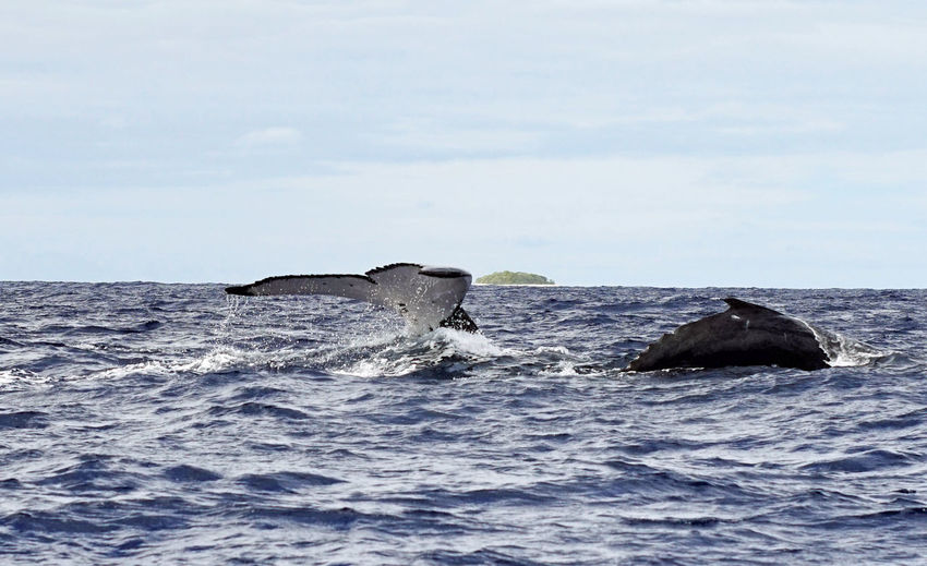 Humpback whale swimming in sea against sky
