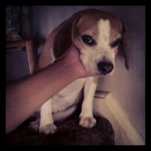 Dopey Beaglestagram Beaglegang Beagle beaglemania beaglelove