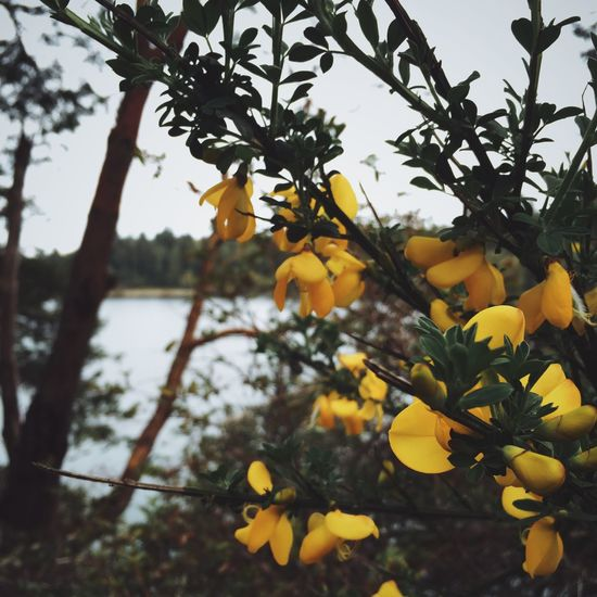 Leaf Yellow Nature Branch Agriculture Outdoors No People Freshness Water Ocean Marina Lakebay Washington State Seattle Puget Sound Saltwater Scotch Broom Flower Gloomy Cloudy