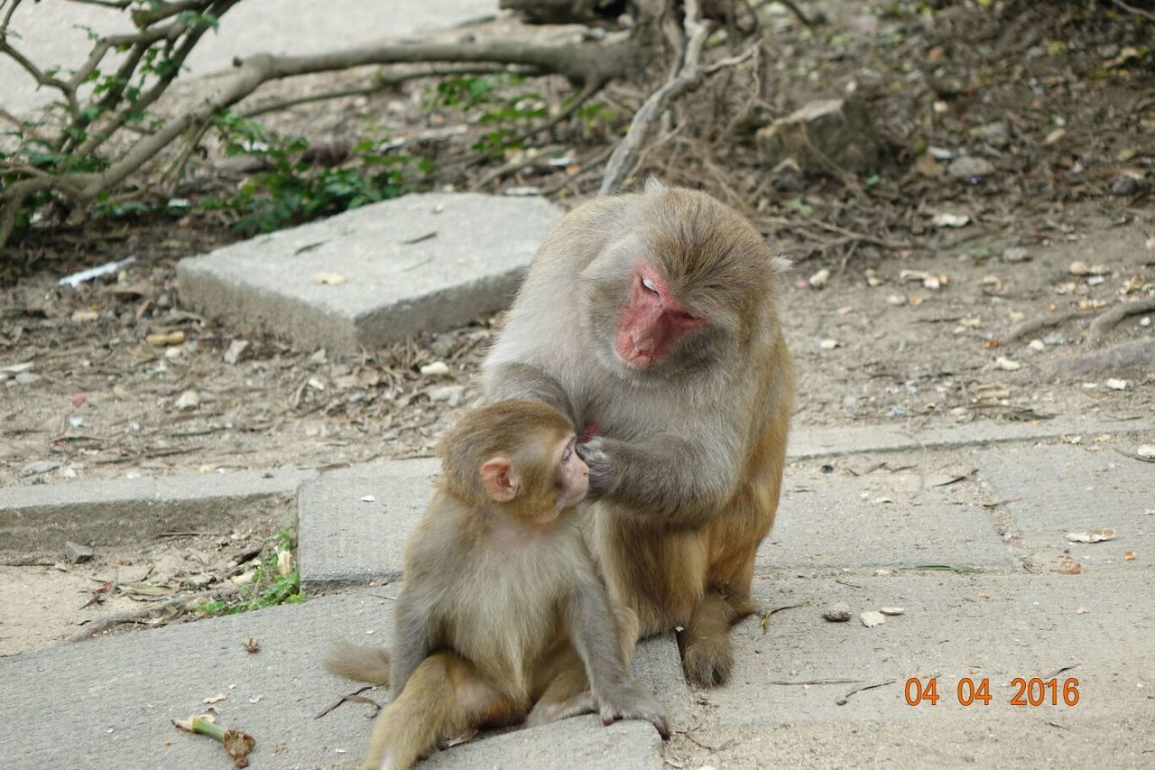 monkey, animals in the wild, animal themes, outdoors, two animals, mammal, togetherness, day, animal wildlife, no people, animal family, young animal, nature, japanese macaque