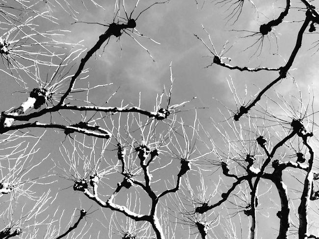 Darmstadt Monochrome Platanen Blackandwhite Nature